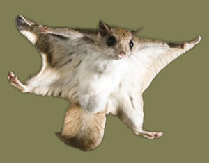 Flying Squirrels Removal In Va Squirrels In The