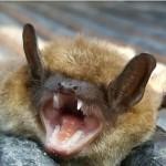 central-va-bat-removal