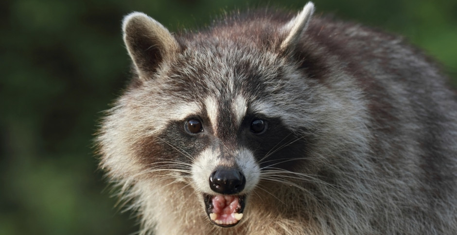Raccoon Removal In Gloucester VA - Raccoons In The Attic
